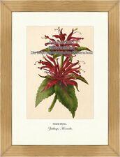 Zwillings-Monarde Goldmelisse Indianernessel Heilpflanze Vilmorin A4 196