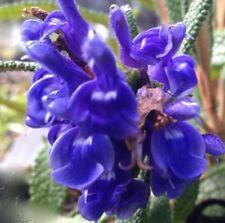 CORRUGATA Salvia masses bright blue flowers plant in 100mm pot