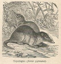 A7577 Toporagno (Sorex pymaeus) - Stampa Antica del 1931 - Xilografia