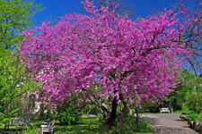 Judas Tree - Cercis siliquastrum - 30+ Seeds
