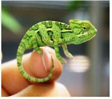 New listing Buy 3 get 1 free -Hatch your own Chameleon Egg Live Lizard Reptile