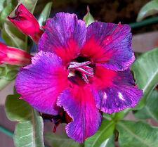 "Adenium Obesum ""Kaleidoscope"" Fresh&Viable 36 Seeds"