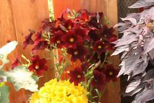 Burgundy Salpiglossis Seeds 50 Pelleted Seeds Stained Glass Flower