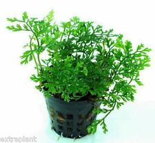 Bolbitis Difformis Pot Freshwater Java Fern Live Aquarium Plants BUY2GET1FREE*