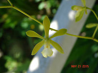 Encyclia tampensis var. alba Bloom size Mounted tree fern SPECIES
