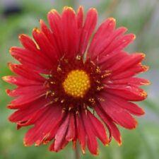Gaillardia - Burgundy - 150 Seeds