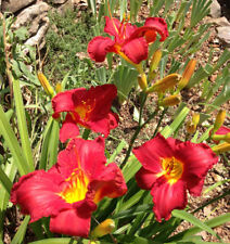 Daylily Twilight Game rebloom hemerocallis Perennial ~ Df or 2 plants