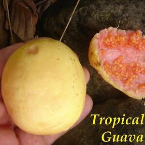 TROPICAL GUAVA Psidium guajava Hawaii Kuawa Goiaba LIVE RARE FRUIT TREE Seedling