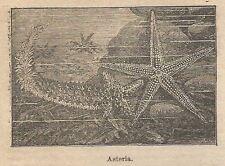 A0825 Asteria - Stampa Antica del 1911 - Xilografia