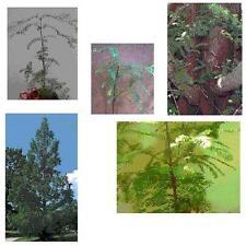 1 Dawn Redwood Tree (Metasequoia) 26+in, Bigger/Older/Bareroot - Plan for Fall