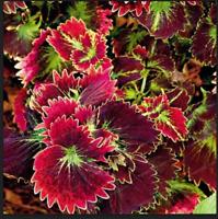 Coleus Seeds 100 Foliage Plants Bonsai Color Arc Dragon Flower Semente For Sale Online Ebay