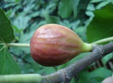 Fig Osborne's Prolific 3L Fruit Tree 3 Years Old Brown Figs Edible Garden Patio