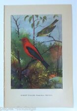 SCARLET TANAGER w/ SWALLOW on the reverse 1923 Bird Art Print by R E. Todhunter