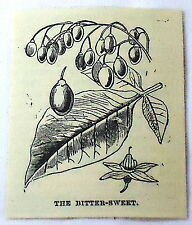 1886 small magazine engraving~ BITTERSWEET PLANT, fruit & leaves illustration