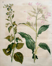 c1800 Tabak Tobacco Tabakpflanzen Nicotiana Kolorierter Kupfer