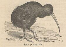 C8997 Apteryx australis - Xilografia d'epoca - 1892 Vintage engraving