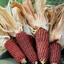 BLOODY BUTCHER RED INDIAN CORN GIANT HEIRLOOM VARIETY RED COBS AND CORN 30 SEEDS