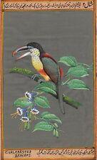 Curl Crested Aracari Painting Handmade Indian Miniature South American Bird Art
