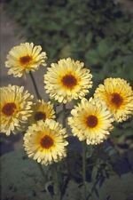 Flower - Calendula - Pacific Beauty Cream - Pot Marigold - 1000 Seeds