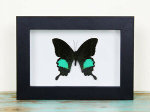 Papilio paris Butterfly in a Black Frame