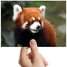 "Endangered Red Panda Bear - Small Photograph 6"" x 4"" Art Print Photo Gift #14159"