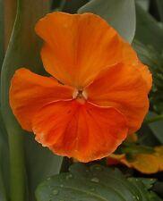 0.2g (appr. 200) pure deep orange pansy seeds ORANGE SUN blooming all the season