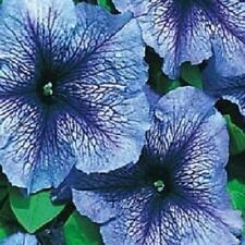 1,000 Petunia Seeds Daddy Blue Pelleted Petunia Seeds BULK SEEDS