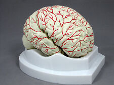 8 Part Human Brain with Arteries Anatomical Model NEW