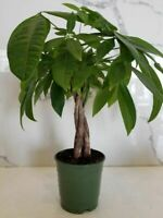 Rare Pachirra Money Tree Braid live plant in a 5 inch grower's pot