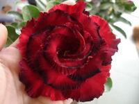 Adenium Desert Rose Purple Fire Red Double Petals Home Garden Bloom Bonsai 2PCS