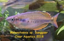 Breeding Pair of Melanotaenia sp. Sungguer Rainbowfish Birds Head Peninsula