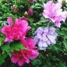 25 Seeds Rose A Sharon Bush Double Althea Color Pink Purple Fuchsia