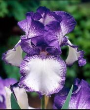 "1 Tall Bearded Iris ""Loop De Loop"" - Large Rhizome, size #1 - Shipping Now!"