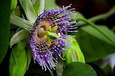12 semi Passiflora edulis-Tarte, fiore della passione
