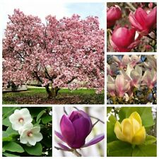 10 Magnolia Tree Flower Seeds Alcimandra Rare 15 Kinds Decorative Garden Plants