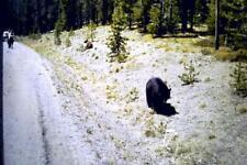 35mm Colour Slide-  Bears on Road Side 1960's   USA