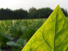 + 5000semillas Écologiques Tabac blond  Nicotiana tabacum graines récolte 2016