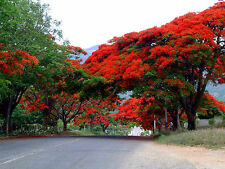 Delonix Regia, Flammenbaum, Flame Tree, rote PRACHTBLÜTE, 5 Samen, 5 seeds