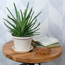 🌵 Aloe Vera - Medicine Plant. Three (3) Plant Pup Starters 5