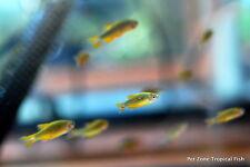(6) Celestial Pearl Danio (Galaxy Rasbora) - Beautiful Tropical Fish, Group of 6