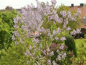 Paulownia tomentosa Jungpflanze 25/35 cm_ Blauglockenbaum Rarität Energieholz