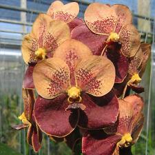 (Vanda Jiriprara x Devaraks) x Ascda. Butterfly   Two Tone Maroon orchid FS Size
