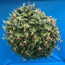 "Epidendrum peperomia (porpax) Division 2"" Pot Floriferous And Easy To Grow"