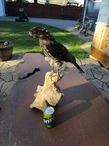 Taxidermy 1 Sharp Shinned Hawk
