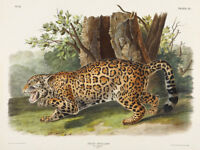 Jaguar Vintage Animal Art Print Canvas Poster Audubon Nature Illustration