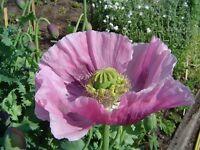 Poppy- Lavender- 100 Seeds- BOGO 50% off SALE