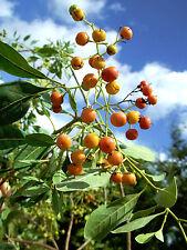 Bourreria ovata Bahama Strongbark Florida native tree bee bonsai seed 10 seeds
