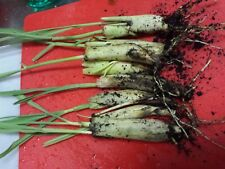 6 Live Lemongrass Stalks Plugs Cymbopogon Sereh Plant Healthy Herb Lemon Grass