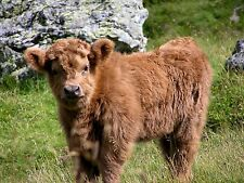 BEAUTIFUL SCOTTISH HIGHLAND CATTLE CANVAS PICTURE #7 STUNNING NATURE CANVAS