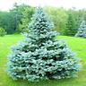 100 Pcs Seeds Tree Bonsai Colorado Blue Spruce Picea Pungens Glauca Planters NEW
